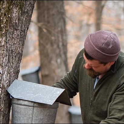 guy harvesting maple syrup