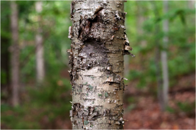 birch tree up close