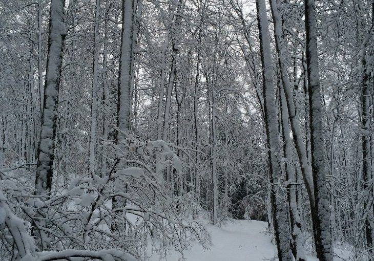 snowy woods with hanging trees