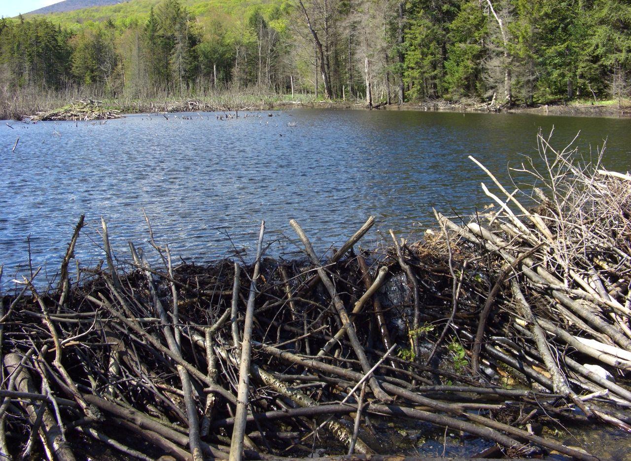 Beaver dam in a river.