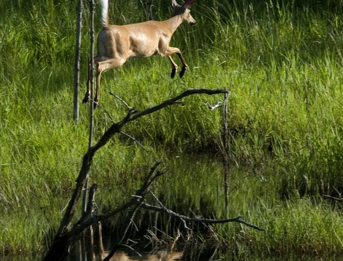 Deer jumping near a stream.