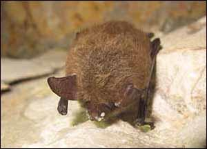 Photo of Northern long-eared bat with white nose syndrome