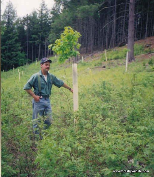 2 year old oak seedling in 1994