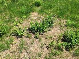 A spot where a single woody invasive clump was just shredded the previous Fall. There is significant resprouting compared to virtually no resprouting where clumps were uprooted first.