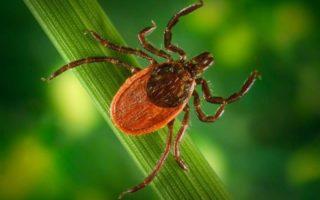Image of Blacklegged tick