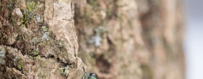 An emerald ash borer on a tree