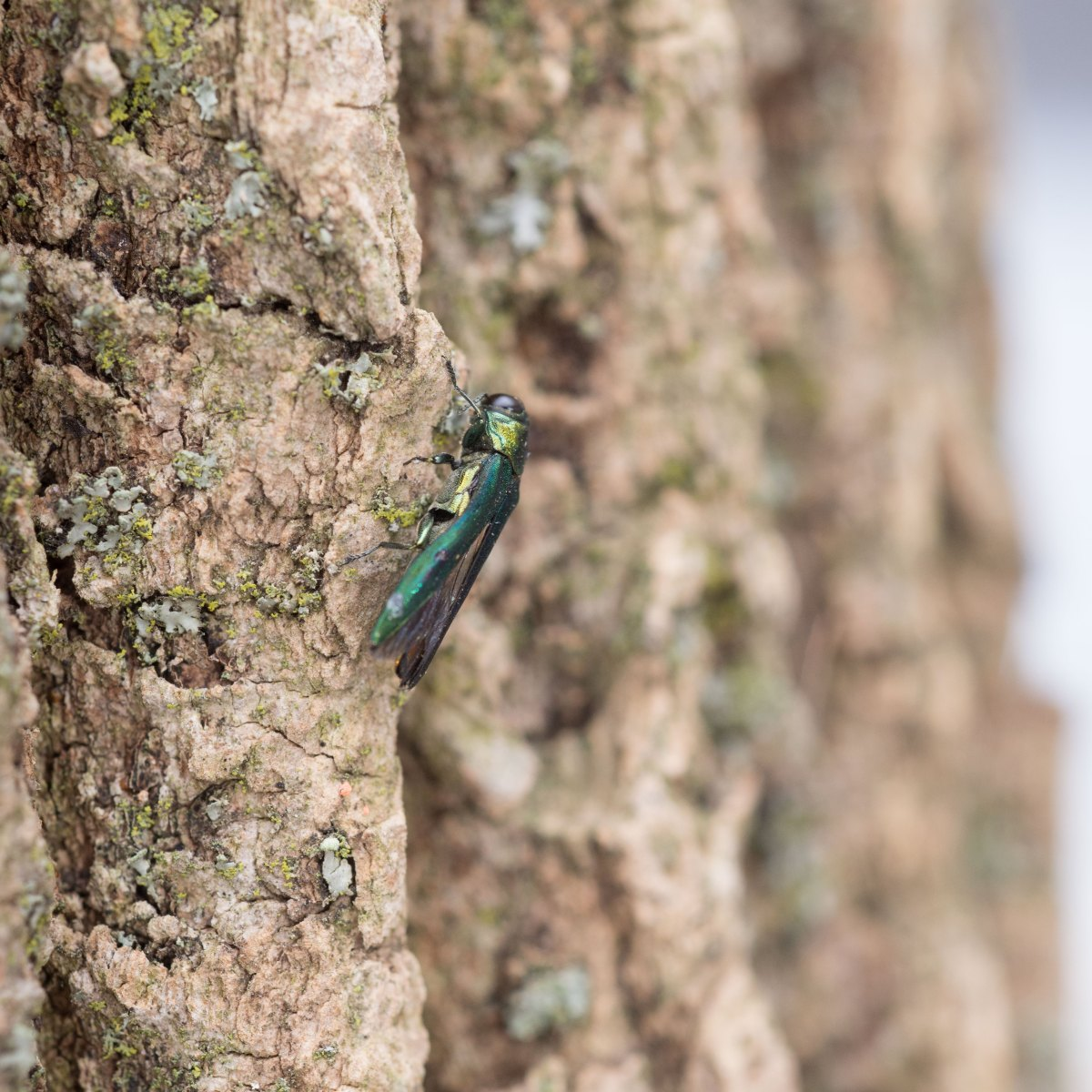 An emerald ash borer on a tree